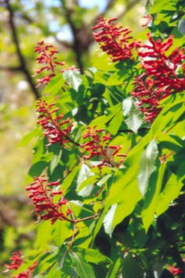 Aesculus pavia Red buckeye or Firecracker plant; Sapindales--Sapindaceae; Introduced species