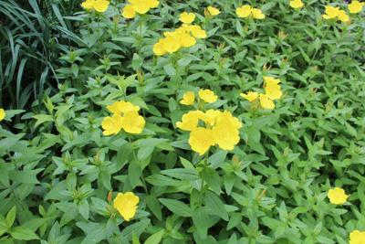 Packera aureus Golden Ragwort