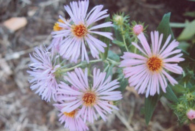 Symphyotrichum novae-angliae New England aster; Asterales--Asteraceae; Native plant (Virginia)