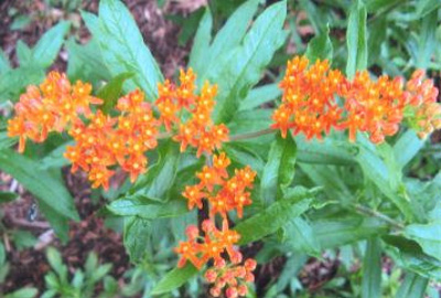 Asclepias tuberosa Butterfly weed; Gentianales--Apocynaceae