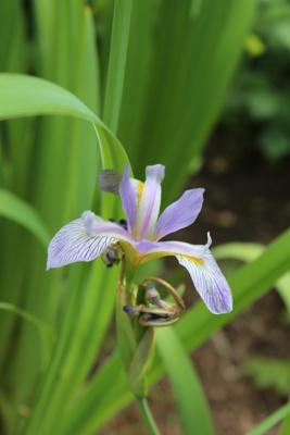 Iris virginica var. shrevei Shreve's Iris