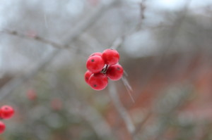 Berries in the botanic garden, January 2013, by Sara Graul and Eli Shadrach.