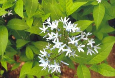 Amsonia tabernaemontana Blue star; Gentianales--Apocynaceae