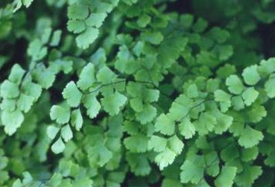 Adiantum capillus Southern Maidenhair Fern; Polypodiales--Pteridaceae; Native plant (Virginia)