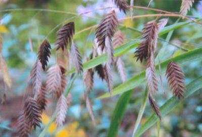 Chasmanthium latifolium River oats; Poales--Poaceae