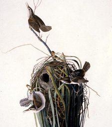 John James Audubon, Marsh Wren (from The Birds of America),1830, engraving on paper.